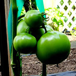 Green tomatos, Watertown, Connecticut