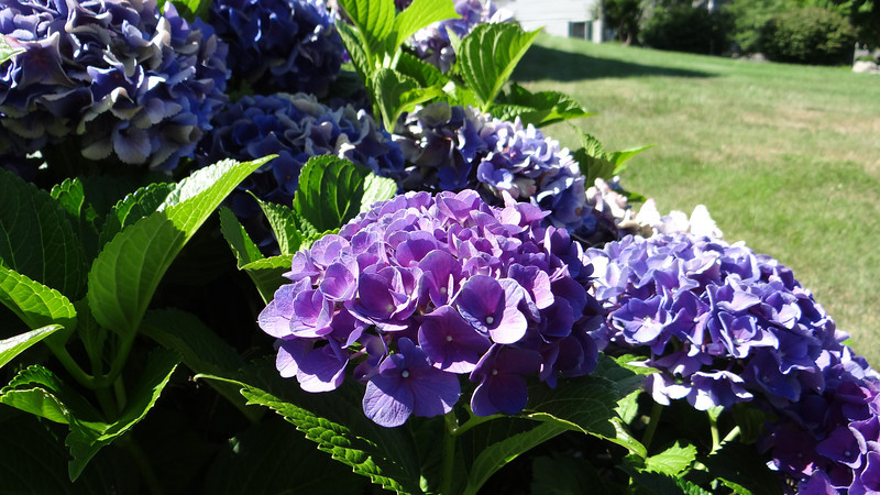 Hydrangea, Watertown, Connecticut