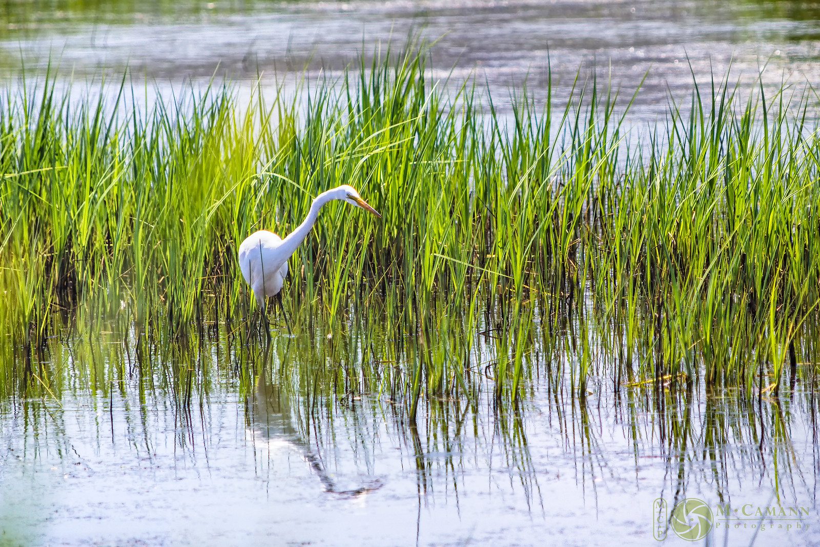 Humboldt Bay National Wildlife Refuge, June 2016.  An egret hunting at Long Pond.