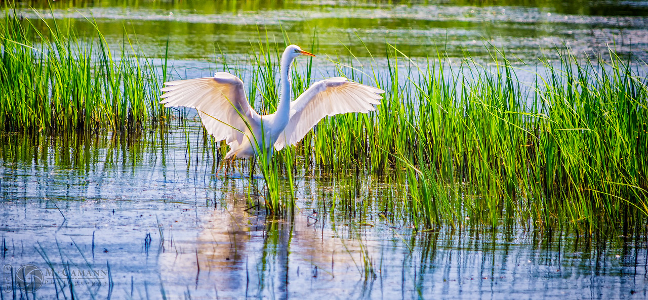 Humboldt Bay National Wildlife Refuge, June 2016.  An egret lands on Long Pond.