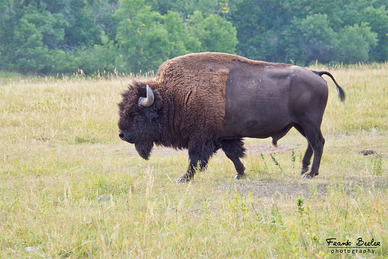 Bison can weigh as much as 2,000 pounds.