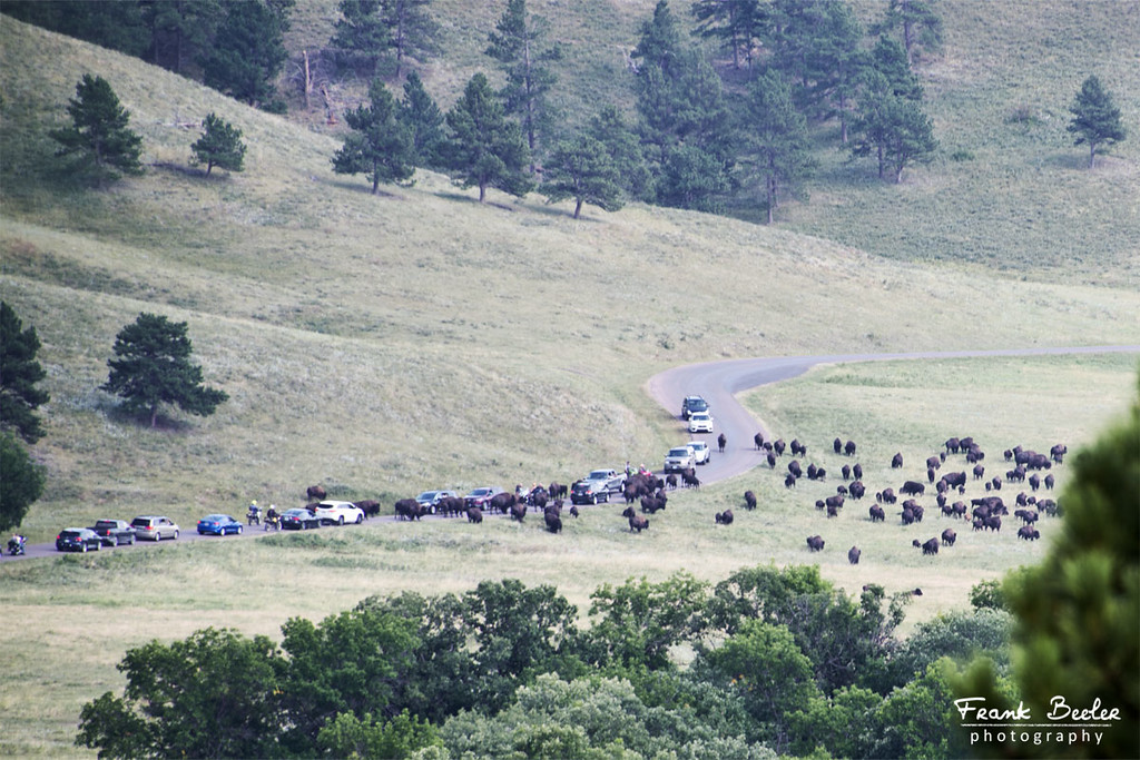 A herd of 1,300 bison roams freely throughout the park, often stopping traffic