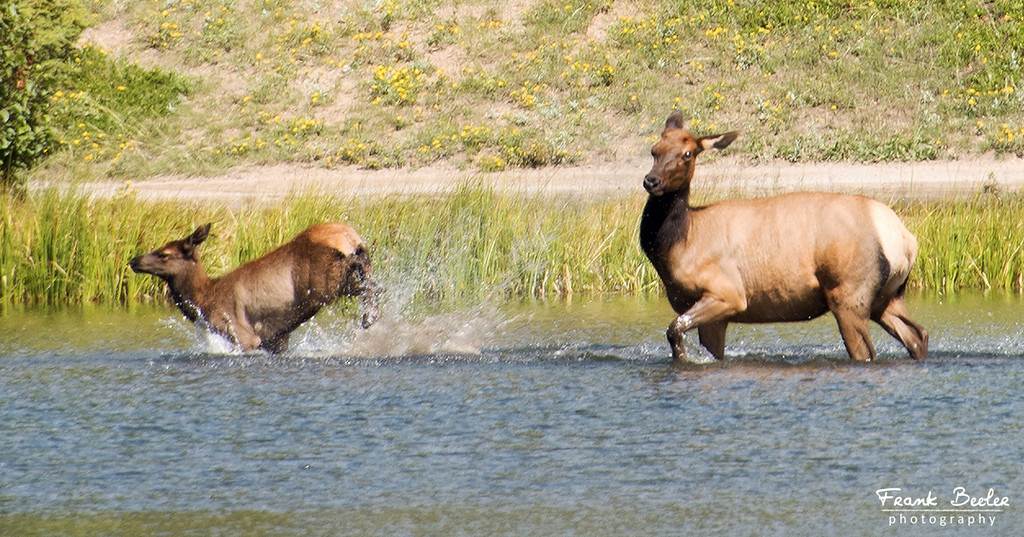 Looks like  the young one is enjoying splashing it's mom!