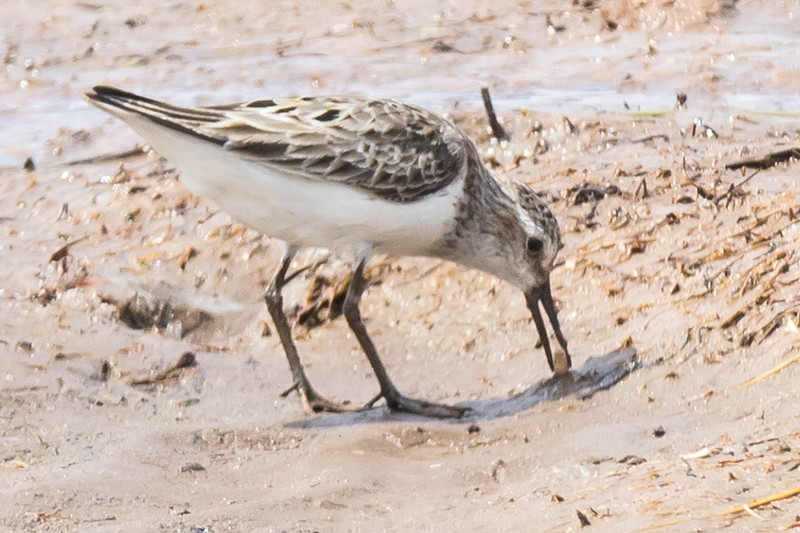 Semi palmated sandpipers at Dorchester NB, annual migration south