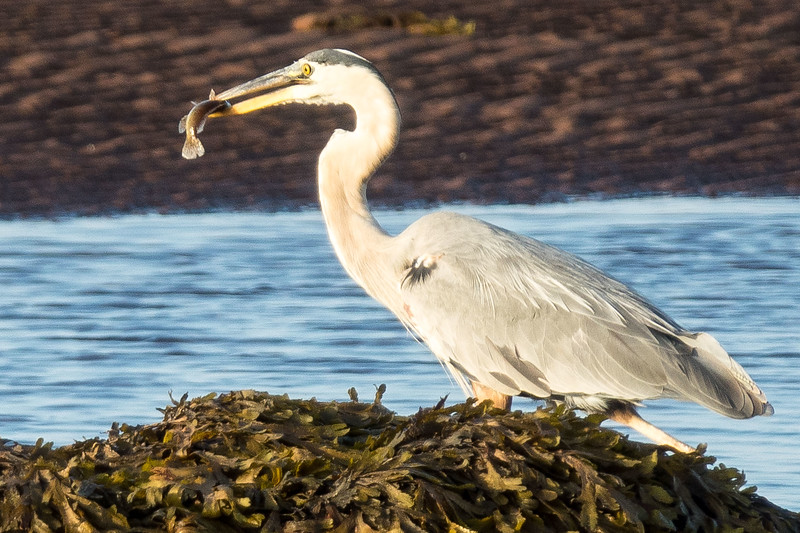 GREAT BLUE HERON AND SNACK
