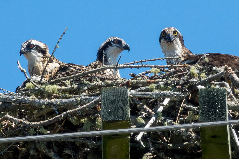 OSPREY CHICKS WAITING