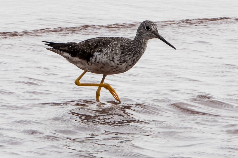 YELLOWLEGS ON ONE LEG