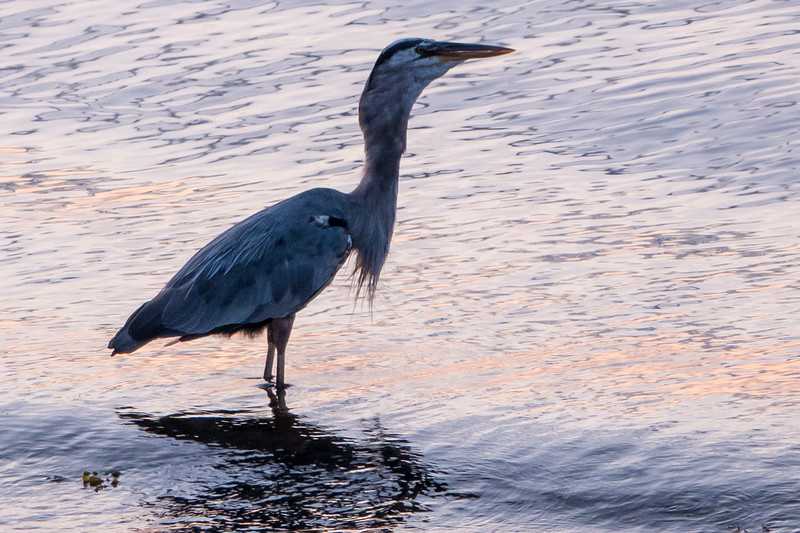 HERON WITH FLOUNDER IN NECK