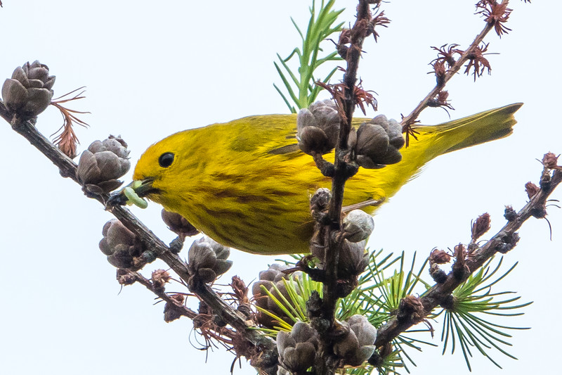 YELLOW WARBLER WAITING FOR PHOTOGRAPHER TO LEAVE SO HE CAN FEED THE YOUNGSTERS