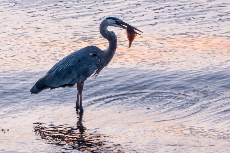 HERON AND FLOUNDER