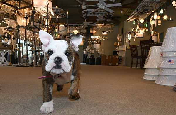 JIM VAIKNORAS/Staff photo Steve and AnnMarie Leary with their dog Ripley at their store Newburyport Lighting.