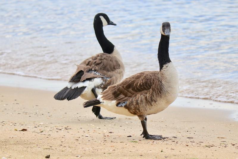 Bay Ridge Geese