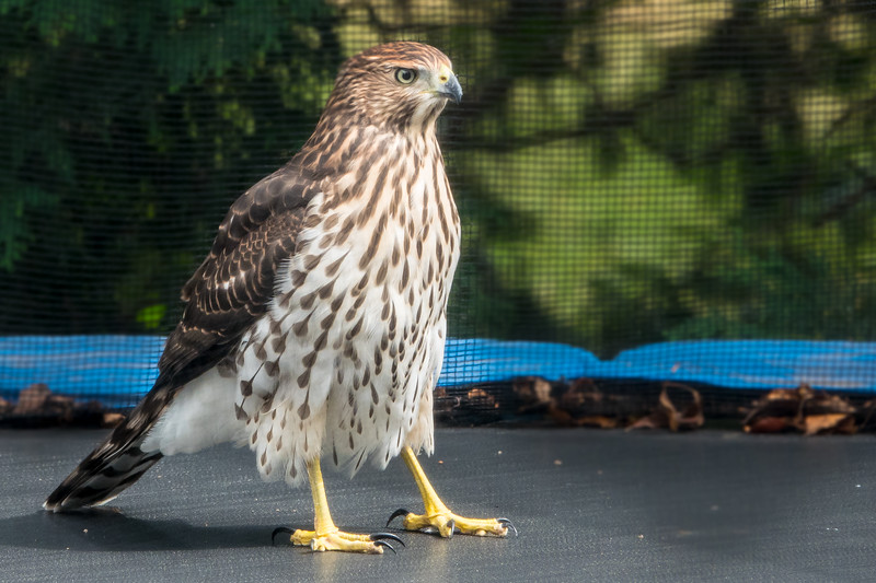This Red Tailed Hawk landed on our trampoline long enough for me to take these yearbook shots.