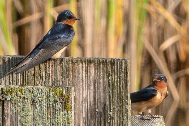 Barn Swallows, St. James Farm