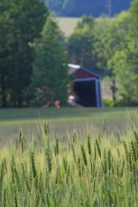 Ripening Wheatfield