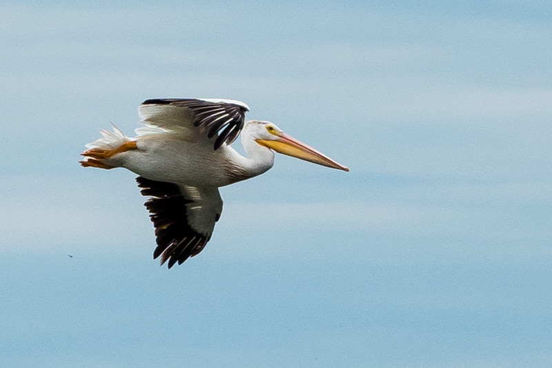 White Pelicans at Illinois and Rock Rivers