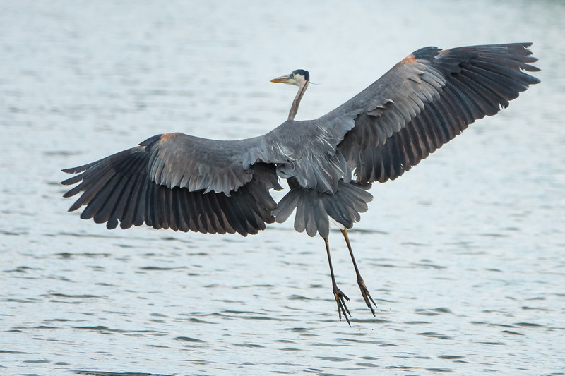 Great Blue Heron, final approach