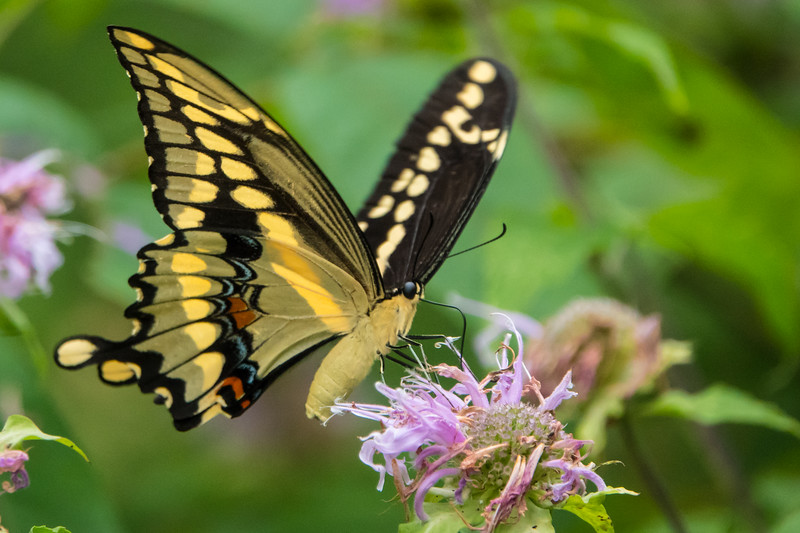Giant Swallowtail Butterfly at McDowell. This is North America's largest butterfly, with a wing span up to 7 inches.