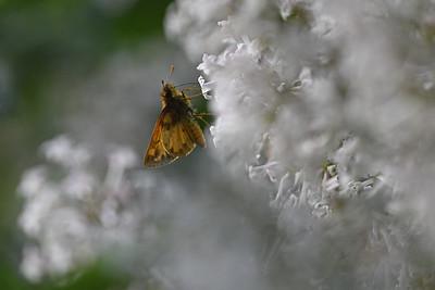Skipper on Lilac