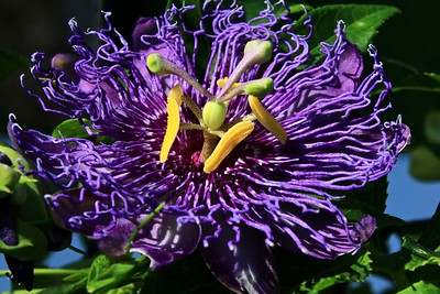 Purple passion flower 2