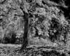 Treesunclrd13se8x10 BW