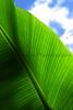 Sky Leaf CR_005