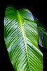 CR Leaf A_001