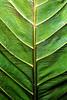 CR Leaf E_003z