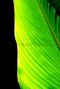 CR Leaf D_005z