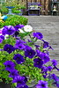 Purple Petunia AMck_001
