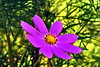 Lavendar flower AMck_003