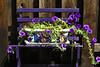 Petunia bench AMck_002