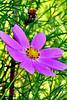 Lavendar flower AMck_001