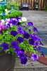 Purple Petunia AMck_003