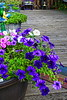 Purple Petunia AMck_004