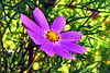 Lavendar flower AMck_002