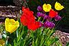 tulips Jim HW_010