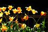 Tulips Yell 2013_001