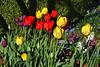 tulips Jim HW_006