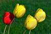 tulips Jim HW_005