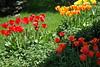 Tulips redYell  StHgt_005