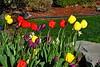 tulips Jim HW_004