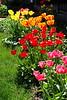 Tulips redYell  StHgt_001