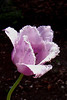 tulip frayed _002