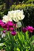 Tulips wht&violet_001
