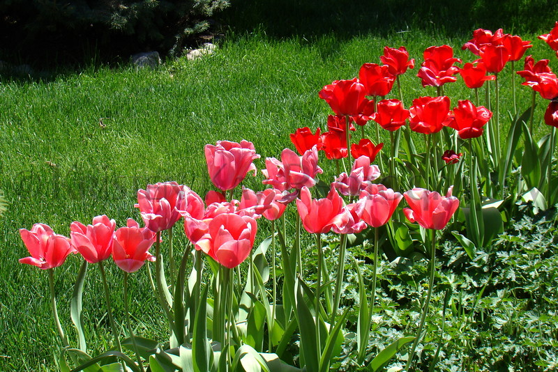 Tulips red Peach 2013