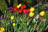 tulips Jim HW_002