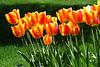Tulips red-Orange 2013_003