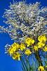 daffoldil tree 3-12_011