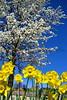 daffoldil tree 3-12_009